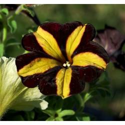 Petunia  Crazytunia Knight...