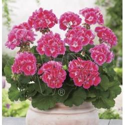 Pelargonium x zonale...