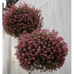 Lobularia Rasberry Stream...