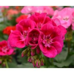 Pelargonia zonale Flower...