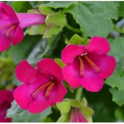Lophospermum x hybridus...