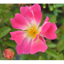 Róża okrywowa Drift Pink...