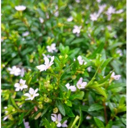 MIRT Cuphea hyssopifolia...