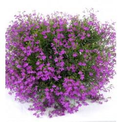 Lobelia zwisająca Star Purple