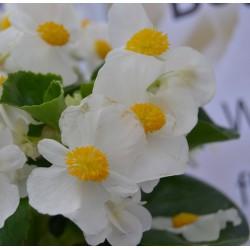 Begonia hybrida Big White...