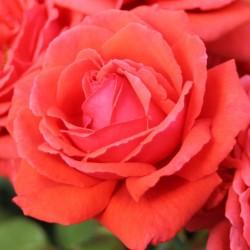 Róża wielkokwiatowa...