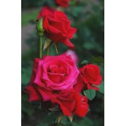 Róża wielkokwiatowa Irena...