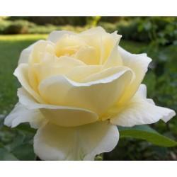 Róża wielkokwiatowa Chopin 1