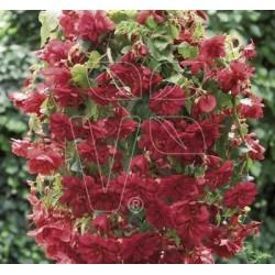 Begonia wisząca...