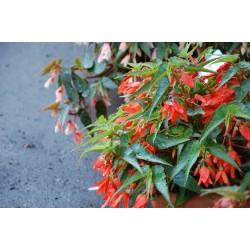 Begonia boliwijska...
