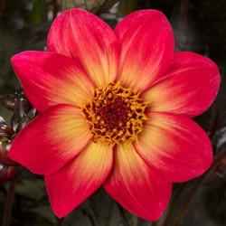 Dalia Dahlia Hybrida...