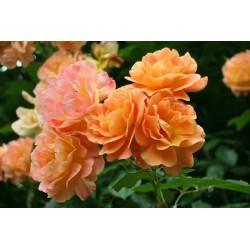 Róża parkowa Westerland    8
