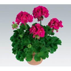 Pelargonia  pelargonium...
