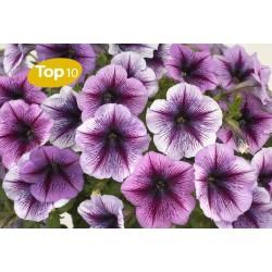 Petunia Hybrida Select...