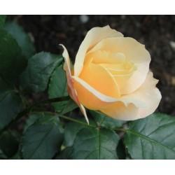 Róża wielokwiatowa...