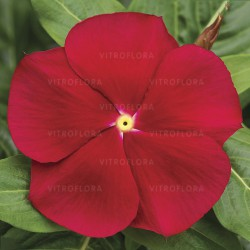 Catharanthus Vinca Cora RED...