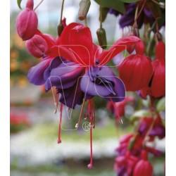 Fuksja Fuchsia hybrida  Vodoo