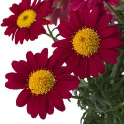 Złocień Argyranthemum...