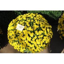 Chryzantema Jasoda Dark Yellow