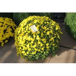 Chryzantema Staviski Yellow