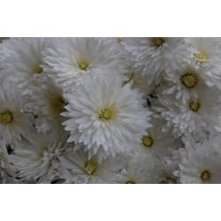 Chryzantema ELDA WHITE