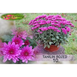 Chryzantema Tanilin Rozed