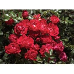 Rosa Róża okrywowa Drift...