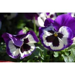 Bratki Viola x wittrockiana...