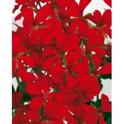 Pelargonia Balcon Red